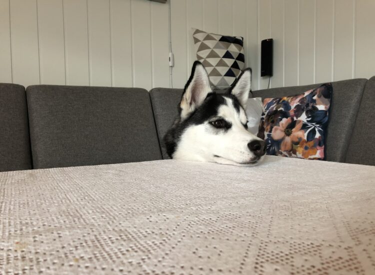 Fenrir resting his head on the table