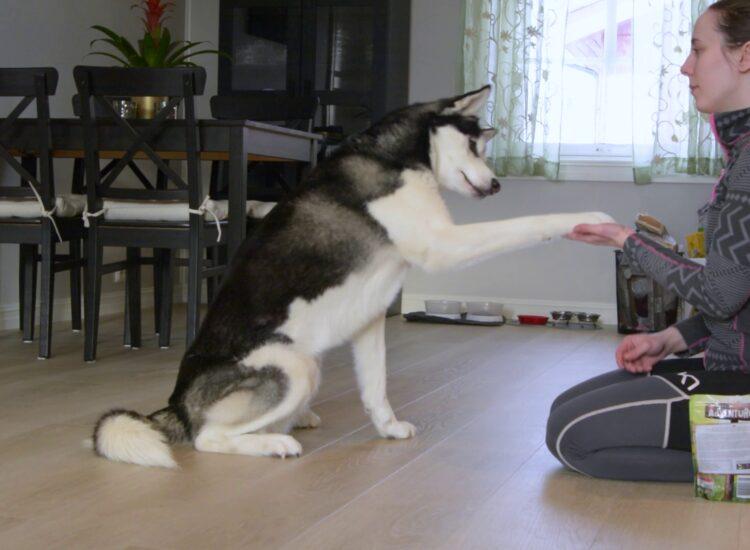 Fenrir doing tricks