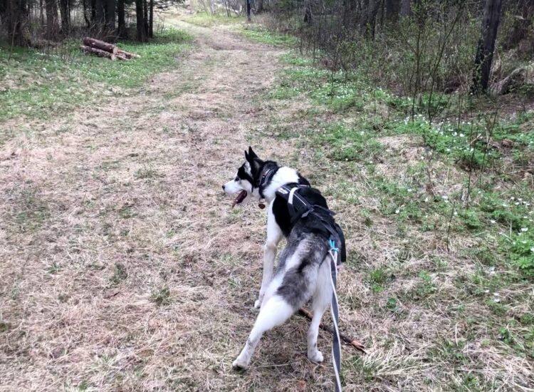 Fenir in the woods