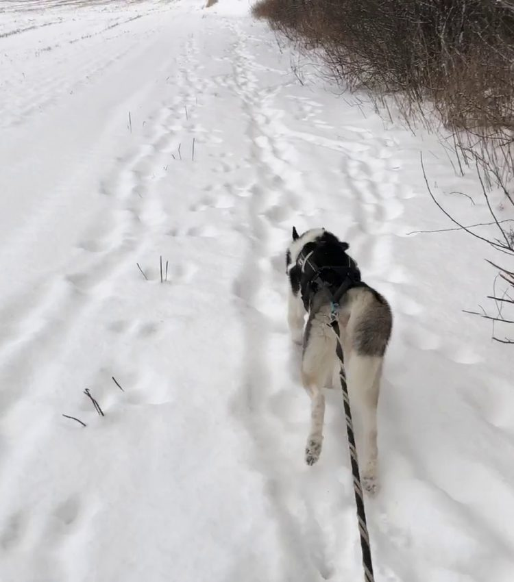 Skiing with Fenrir